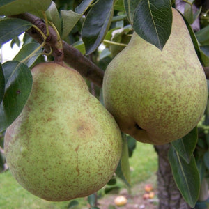 Pear Tree - 'Williams' Bon Chretien