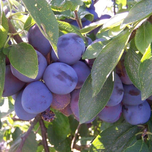 Plum tree - Laxton's Cropper