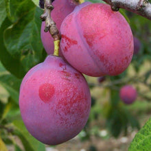Load image into Gallery viewer, Plum Tree - Laxton's Delicious