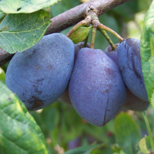 Plum Tree - Purple Pershore