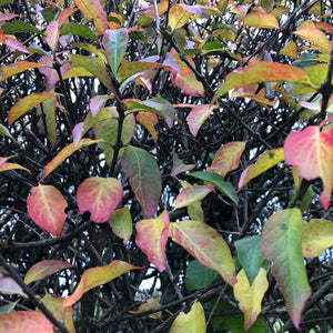 Wild privet autumn colours