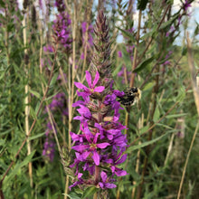 Load image into Gallery viewer, Purple loosestrife Lythrum salicaria