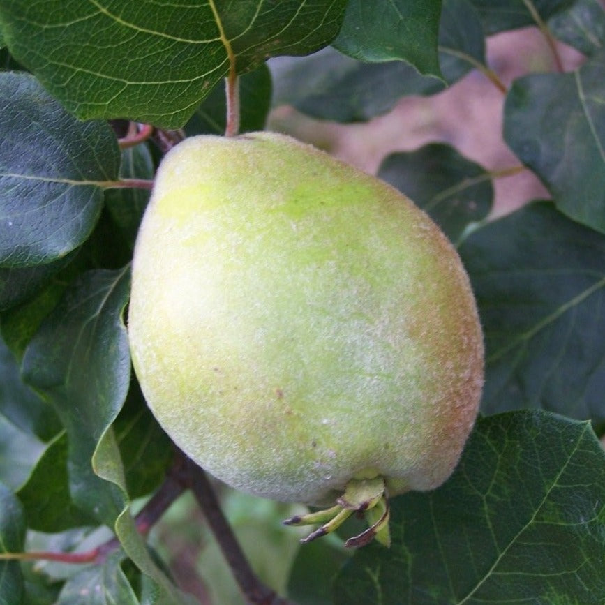 Quince Tree - Pear Shaped