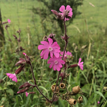 Load image into Gallery viewer, Red campion Silene dioica