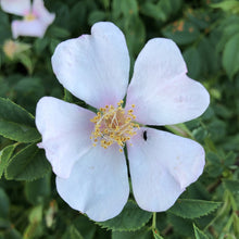 Load image into Gallery viewer, Dog rose