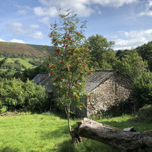 Load image into Gallery viewer, Young Rowan, Llanthony