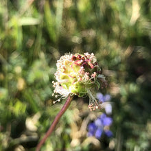 Load image into Gallery viewer, Salad burnet