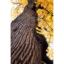 Load image into Gallery viewer, Sweet chestnut trunk