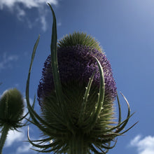 Load image into Gallery viewer, Teasel