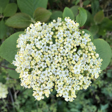 Load image into Gallery viewer, Viburnum lantana