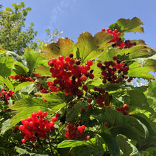 Load image into Gallery viewer, Viburnum opulus, Guelder rose. Vale of Ewyas.