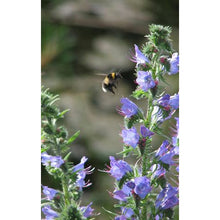 Load image into Gallery viewer, Viper's Bugloss (Echium vulgare)