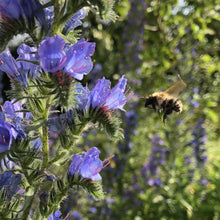 Load image into Gallery viewer, Vipers bugloss Echium vulgare