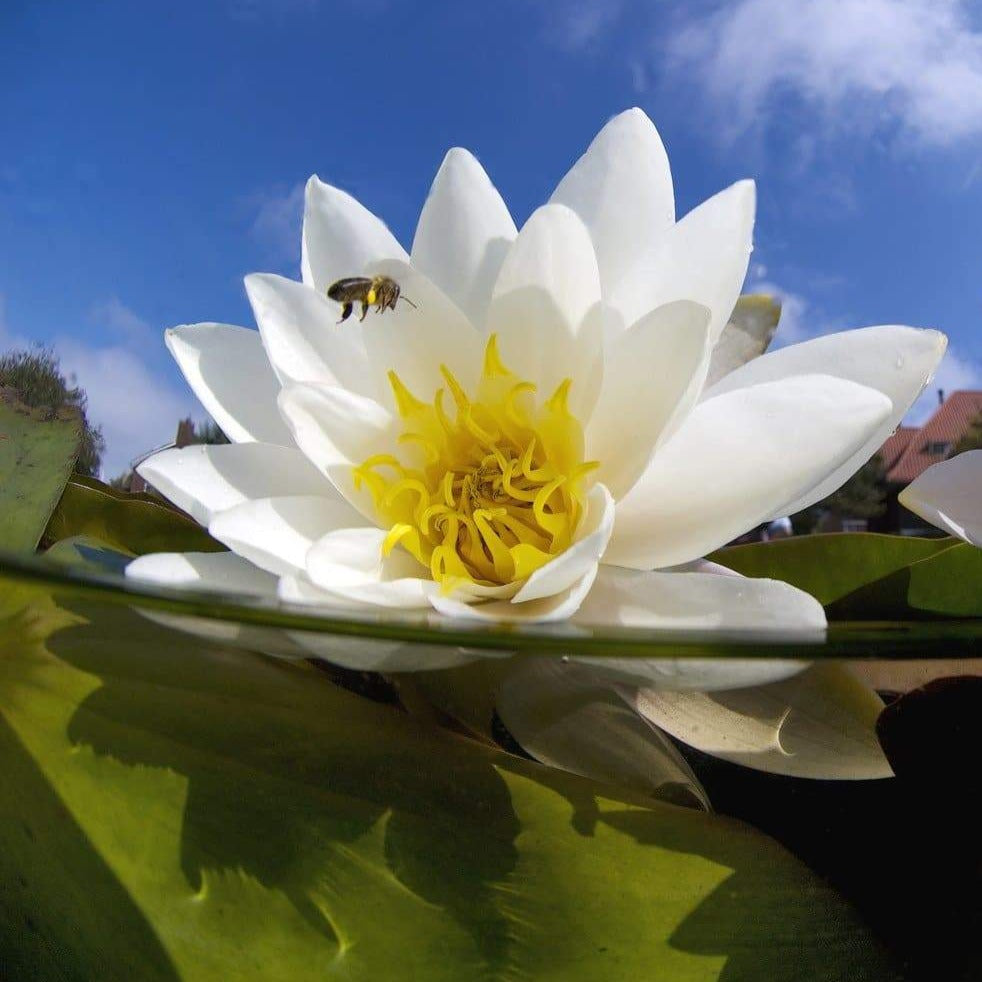 Aquatic Native Plants: Water Lilies
