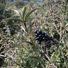 Load image into Gallery viewer, Wild privet berries