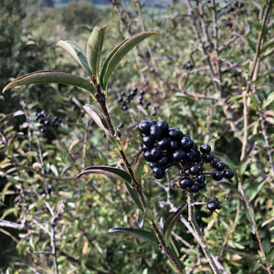 Wild privet berries