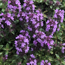 Load image into Gallery viewer, Wild thyme
