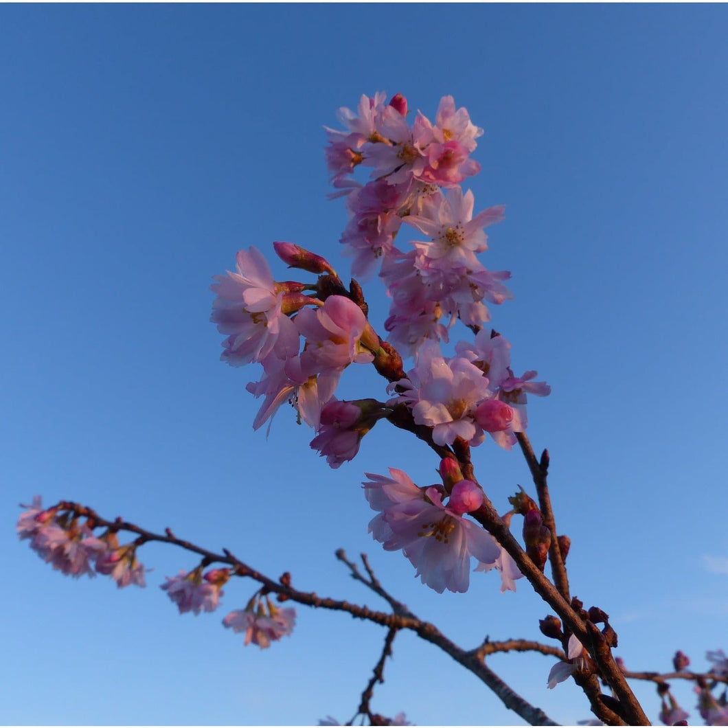 Prunus x subhirtella 'Autumnalis' (Winter Flowering Cherry)