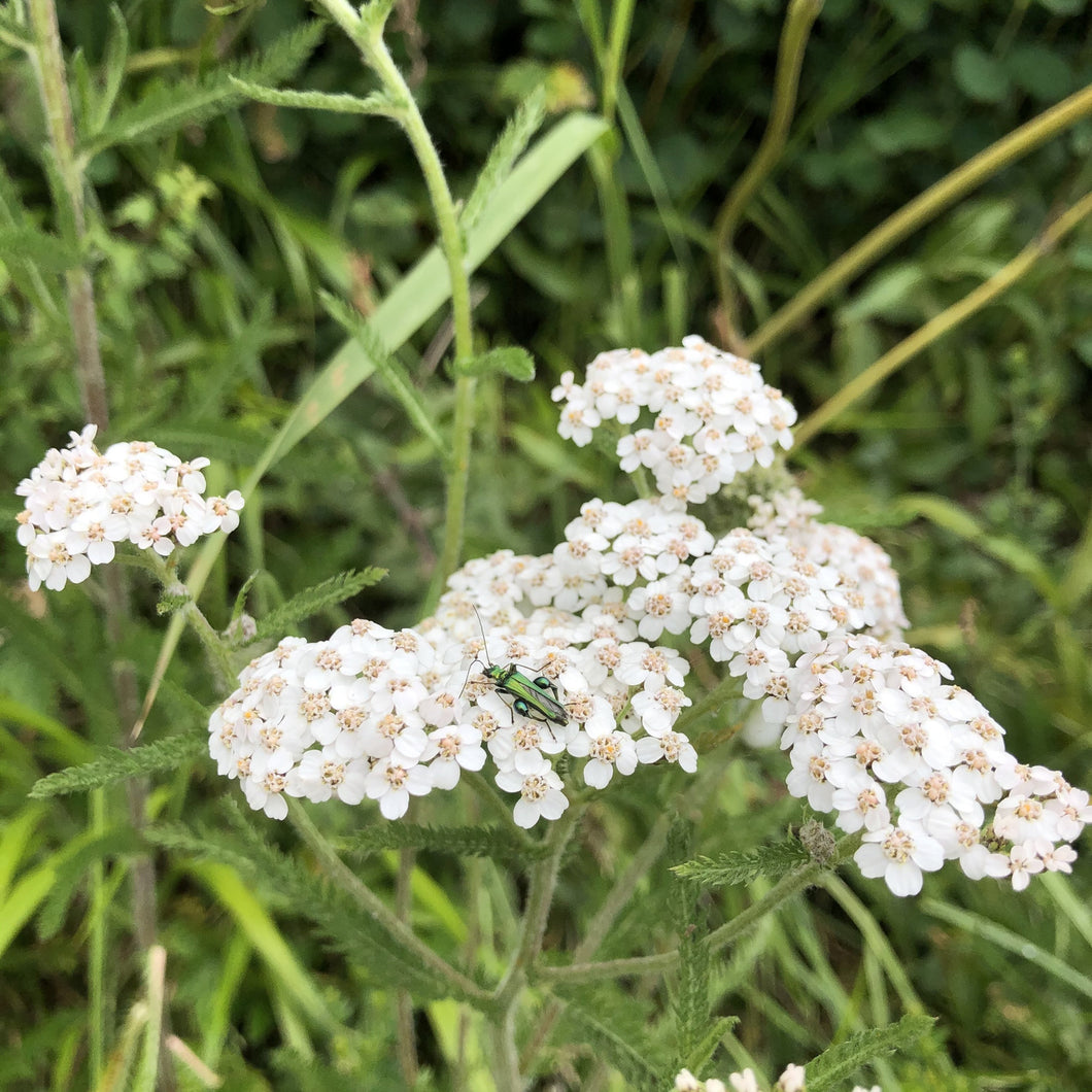 Yarrow Achillea millefolium and Thick-legged flower beatle