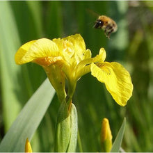 Load image into Gallery viewer, Yellow flag iris Iris pseudacorus