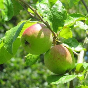 Apple Tree - Brith Mawr