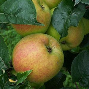 Apple Tree - Blenheim Orange