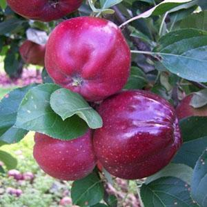 Apple Tree - Bloody Ploughman