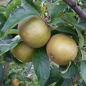 Apple Tree - Brownlee's Russet