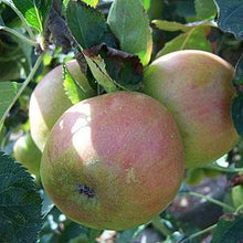 Load image into Gallery viewer, Apple Tree - Claygate Pearmain