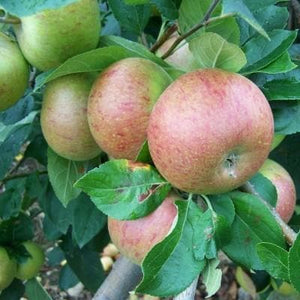 Apple Tree - Coronation