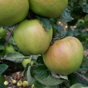 Apple Tree - Doctor Hogg
