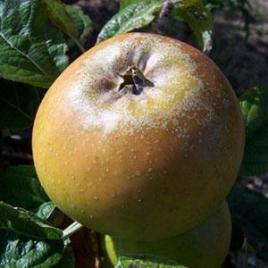 Apple Tree - Duke of Devonshire
