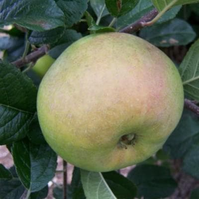 Apple Tree - Dumelow's Seedling