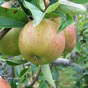 Apple Tree - Ellison's Orange