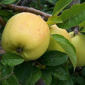 Apple Tree - Golden Spire