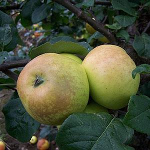 Apple Tree - Greenup's Pippin