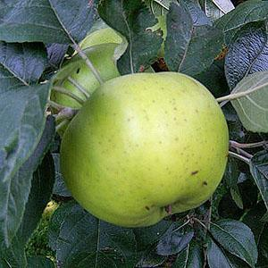 Apple Tree - Grenadier