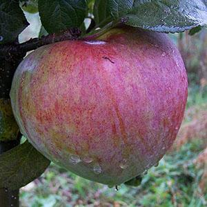 Apple Tree - Howgate Wonder