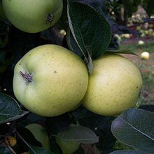 Load image into Gallery viewer, Apple Tree - Keswick Codlin