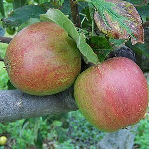 Apple Tree - Lord Hindlip