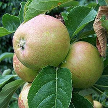 Load image into Gallery viewer, Apple Tree - Mannington's Pearmain