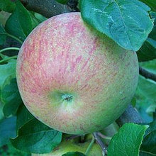 Load image into Gallery viewer, Apple Tree - Peasgood's Nonsuch