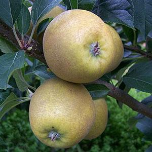 Apple Tree - Pitmaston Pineapple