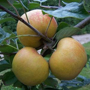 Apple Tree - Saint Edmund's Pippin