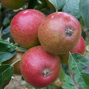 Apple Tree - Tremlett's Bitter