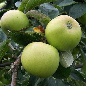 Apple Tree - Warner's King