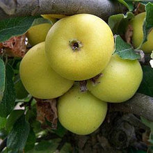 Load image into Gallery viewer, Apple Tree - Yellow Ingestrie