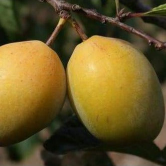 Plum Tree - Coe's Golden Drop