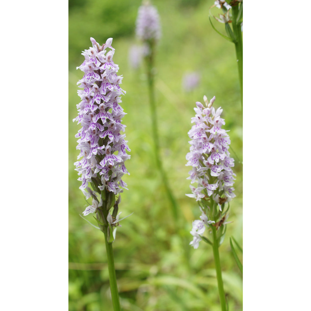 Orchid: Common Spotted (Dactylorhiza fuchsii)