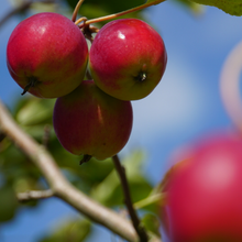 Load image into Gallery viewer, Crab Apple Tree - Dartmouth